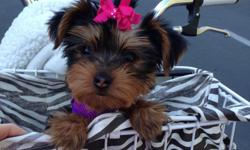 3month old Female Yorkie. Sweet, loving, friendly, has puppy shots, microchipped. Price includes accessories.