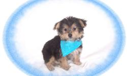 """This baby boy is precious. He is cheerful and has a delightful personality. He is a Yorkie and a Maltese mix-""""Morkie"""". He would love a new family with kids to play with.He is hypo allergenic and has a beautiful non shedding hair coat.He is micro chipped."""