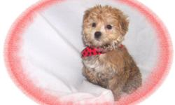 """This baby boy is a sweetie. He is full of love and kisses. He is sweet and gentle. He is ready for a new family to love. He is a Yorkie and a Maltese mix-""""Morkie"""". He is hypo allergenic and has a nice non shedding hair coat.He is micro chipped. He comes"""