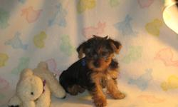 Two purebred teacup male yorkie puppies, great temperament, hypoallergenic bred. Parents onsite. Will range when grown 4-6 lbs., gold/black coat. **Asking $900 REDUCED(original $1000).** Seeyorkieloveablepuppies.com Each puppy has received one