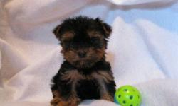 1 Male Yorkshire Terrier born on 5-17-11. UTD on shots and comes with a health warranty. *?* Credit Cards Accepted (Visa/MasterCard????) ** Financing Available (Please Inquire) ** Shipping Available ** Microchipped?? ? ** APRI Registered For More Info