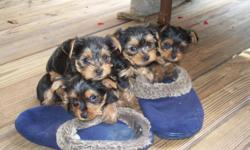 We have 2 beautiful male Yorkie pups born on June 3, there mom and dad are both here to see. They come with puppy shots and health cert. For more info please text us at 209-2978 or call 591-9783 come and have a look if you like they are