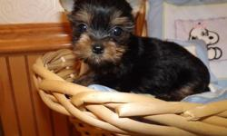 Yorkshire Terrier Silver 4 beautiful female puppies 9 weeks old.From family home used to people and other pets. Father is a beautiful silver Yorkie .Puppies are adorable. ------------ Send a message to the seller. 209 730-87529 for details.