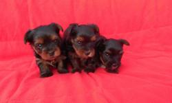 Adorable little Yorkie puppies,  they are ACA registered and come with thier first shot, dewormed and health guarantee.  Raised in my home and very healthy.  Will be approx   5lbs.   Please phone calls and texts