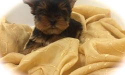 Brooklyn Yorkshire terriers puppies great blood line from my show dogs great puppies well have a high end look u well not see in other Yorkie's they are AKC Registration and they Health Certificate and there first set of shots i have one tea cup female