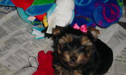 AKC registered, 9 wks Top Quality, Benson is Gorgeous little guy, had 2 shots wormed, healthy, happy, sold as pet. 828-697-0956