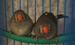 Zebra Finches. Healthy and Active males and females. $10. each  We need to downsize on pets. please text during working hours. or call after four 31 seven four 80 nine five 33 thank you for looking. SE INDY - Beech Grove area