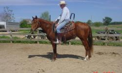 Seven year old mare with wonderful bloodlines well broke and able to do many disciplines. She can pleasure,trail ride,started reining and roping. Excellent prospect for Amercan Ranch Horse or American Stock Horse Association Shows. She is ready to do