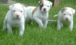 Purebred American Bulldog Puppies available Purebred american Bulldog puppies litter of 8 born variety of colours and markings males and females availablebrought up inside and around children all puppies have been wormed every two weeks and will be